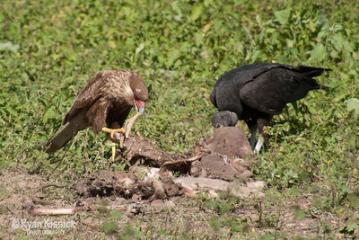 A crested caracara and a black vulture eating the remains of a carcass
