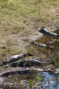 Several caimans sunning themselves