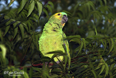 A green parrot perched in a tree