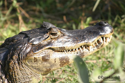 A caiman sunning itself in the Pantanal region of Brazil