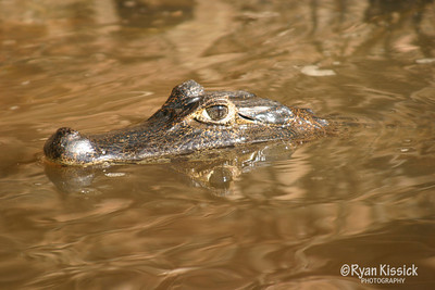 Caiman cruising the river in the Pantanal