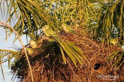 Parakeets amongst their large nest