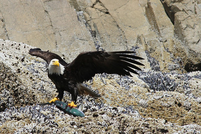 Bald eagle showing off its catch of the day - salmon