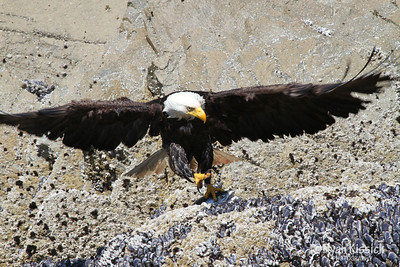 Bald eagle showing its sharp talons