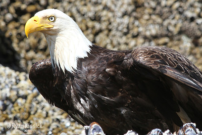 Close-up of bald eagle