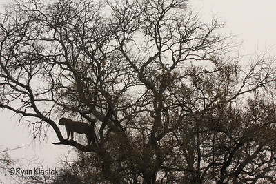 Leopard in tree against the African sky