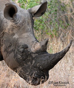 Muddy black rhino face after it cooled off in a muddy pool