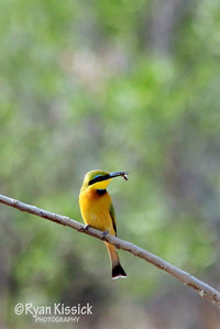 Exotic bird called a Little bee eater (aptly named...notice the bee in its mouth)