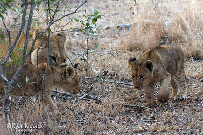 Lion cub investigating its surroundings with its mother and sibling