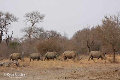 Black rhinos walking single file to the watering hole