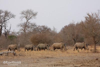 Black rhinos walking single file to the watering hole
