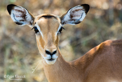Impala are some of the most common creatures seen on safari in Botswana, but it doesn't make them any less gorgeous