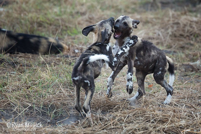 Two wild dog puppies playing