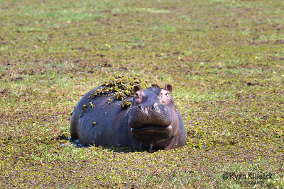 Hippo emerging out of the pond