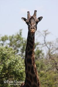 Long giraffe neck