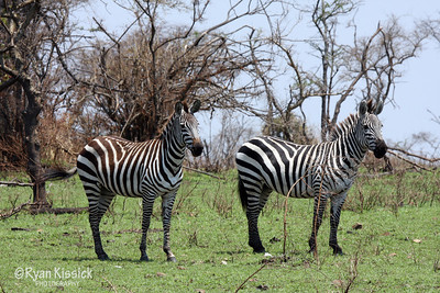 Two zebras in Grumeti Reserve