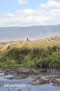 Lions overlooking hippos in Ngorogoro Crater