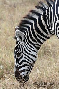 Zebra grazing in Ngorogoro Crater