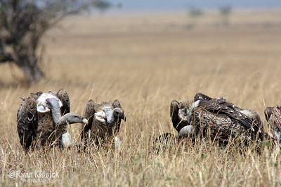 Vultures gather around a carcass