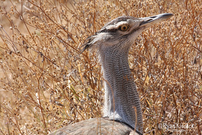 Large bird called a Corey Bustard