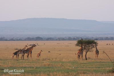 Giraffes in the Grumeti savanna