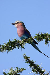 Beautiful bird called a Lilac-breasted Roller. The name comes from the male bird, which dives and rolls from great heights during mating season to impress potential mates