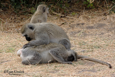 A vervet monkey grooming another vervet monkey