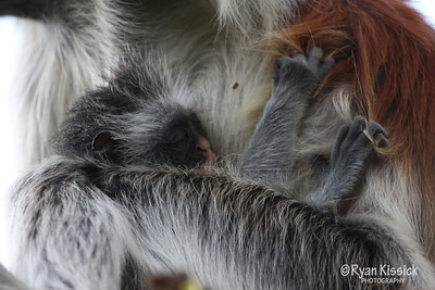 Baby red colobus monkey sleeping in the grasp of its mother