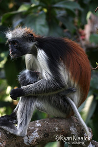 Baby red colobus monkey with its mother