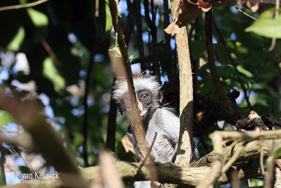 Baby red colobus monkey on its own