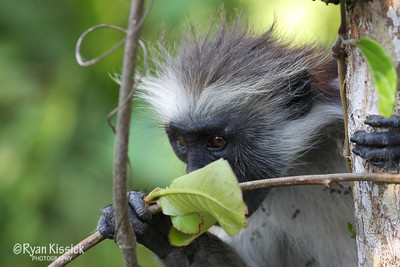 Red colobus monkey eating a leaf
