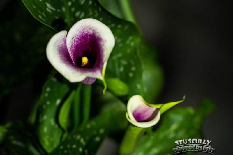 IMAGE: http://www.stuscully.com/OnTheLighterSide/Macro/Calla-Lilies-under-light/i-ZSP2tJK/1/L/JY0A2611-L.jpg