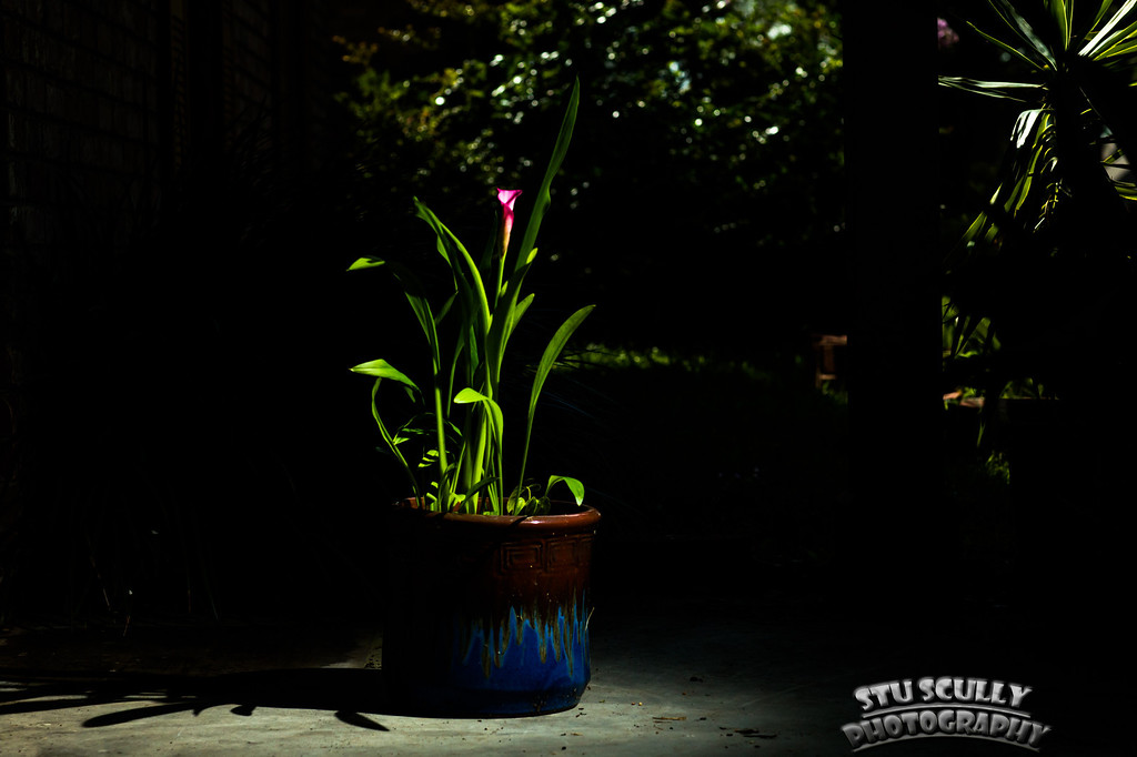 IMAGE: http://www.stuscully.com/OnTheLighterSide/Macro/Calla-Lilies-under-light/i-v9jhm77/1/XL/JY0A2698-XL.jpg
