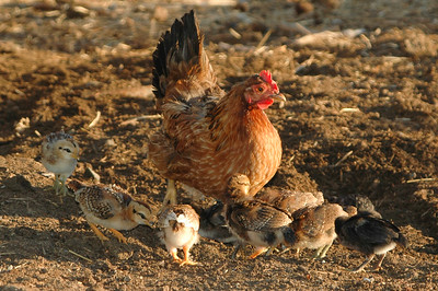 hen chicks (1 of 1)