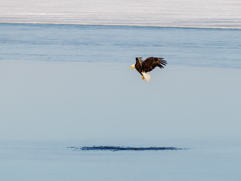 Eagle above the area where the grebe is submerged.