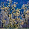 Cottonwoods Along the Columbia River
