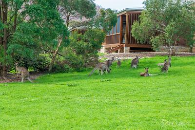 Kangaroos around our villas