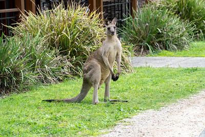 Kangaroo in front of villa