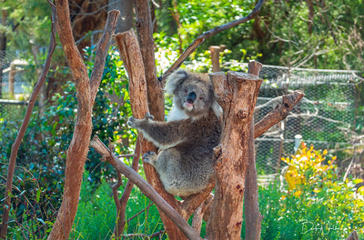 Koala at Healesville Wildlife Sanctuary