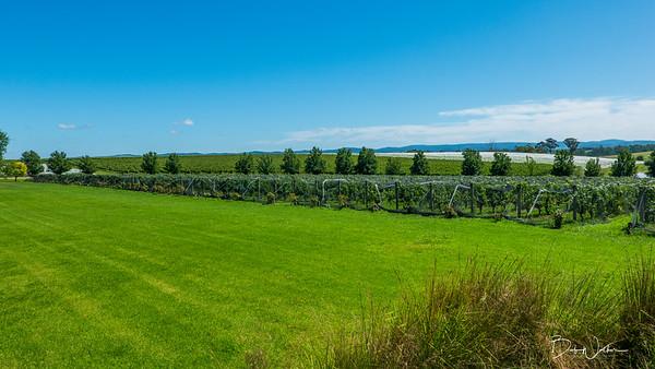 At Oakridge Estates vineyard in Yarra Valley