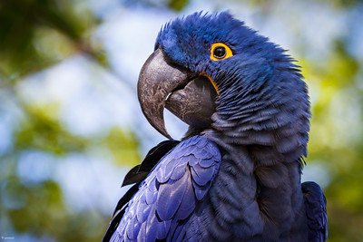 "2018-2019 Nov-Jan Birds of a Feather, ""Posing Hyacinth Macaw"""