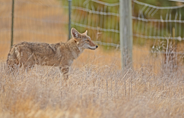 One Coyote Near Helix_9-29-18