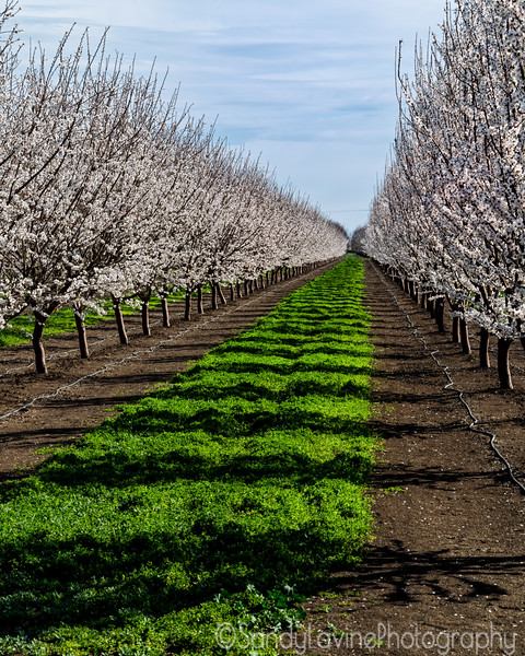 Almond  Orchard Bloom