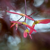 Winged Samaras on a Japanese Maple
