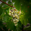 Chardonnay Grapes Two 2018