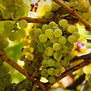 Cluster of Chardonnay Grapes
