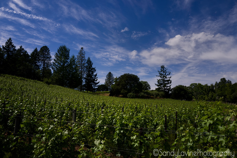 Late Afternoon in the Vineyard