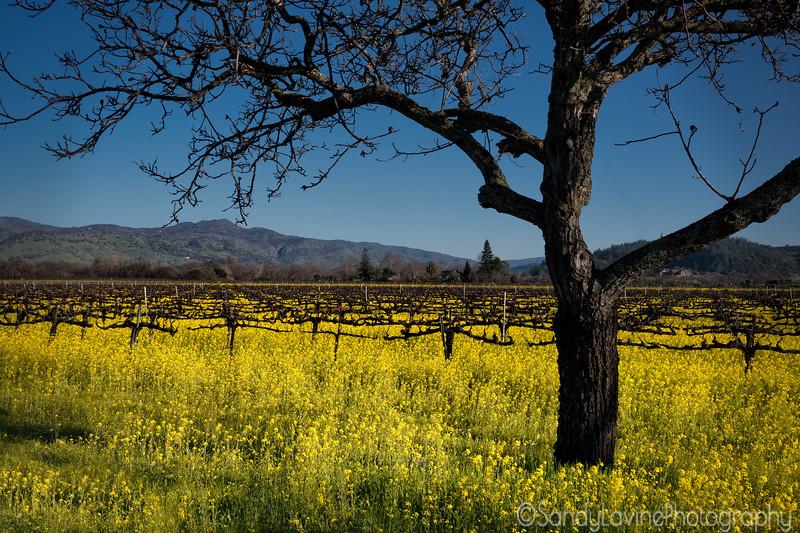 Mustard on Oakville Crossing