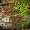 Fern Covered Rock