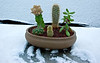 """""""Office Cacti in Snow"""" 12/23/09"""